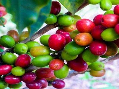 Coffee Cherry Sorting