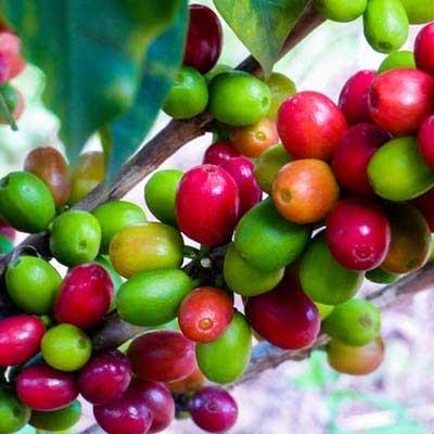 咖啡果色选
